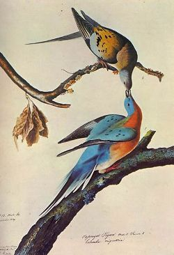 Passenger Pigeons by John James Audubon