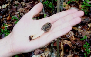 The first morel in Evan's hand for a general size comparison