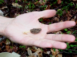 The third found morel in Evan's hand