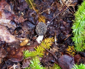 This is the first morel that we found . . . it was actually more buried than this at first, with just the tip poking out