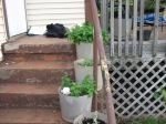 Potted Mint Plants