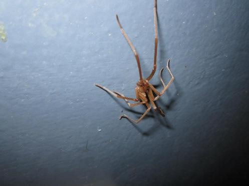 They might look creepy slowly lurking about the house, however, the male Southern House Spider (Kukulcania hibernalis) is harmless, mostly blind, in with jaws too tiny to even bite a human.  They look quite different from their female counterparts due to extreme sexual dimorphism.