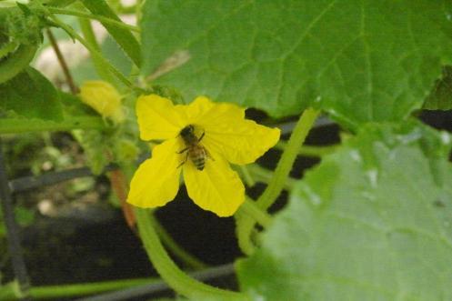Honey bee on a cucumber flower.